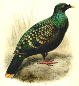 Spotted-Green-Pigeon-from-Bulletin-of-the-Liverpool-Museums-by-Joseph-Smit-2-275x300