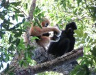 Hainan gibbon group copyright Jessica Bryant