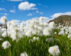 cotton-grass-680623_1280