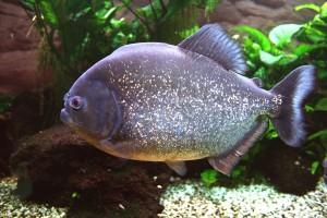 piranha-587674_1280