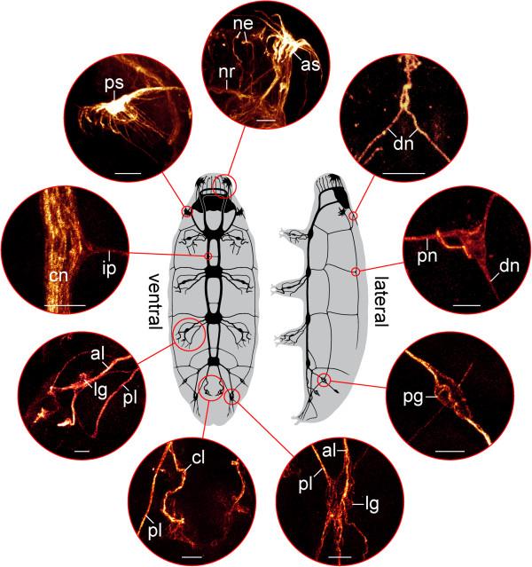 Fig 7 Mayer et al BMC Evolutionary Biology (2013) 13,230