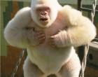 9. Snowflake, the only known albino gorilla