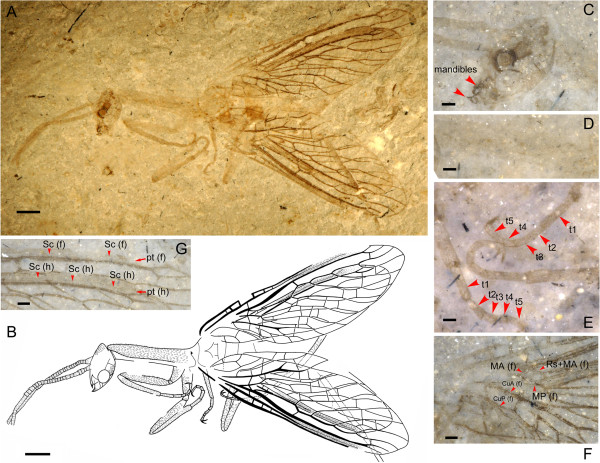 Image of the month- Fossil Snakefly