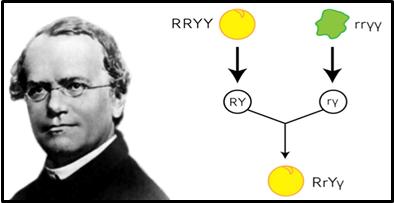 A picture of Gregor Mendel