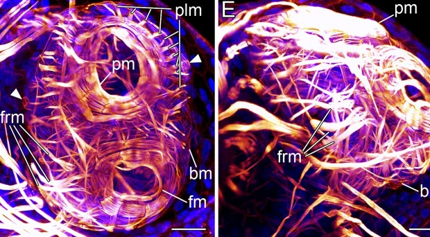 Up close and personal: images of the goblet worm published in BMC Evolutionary Biology