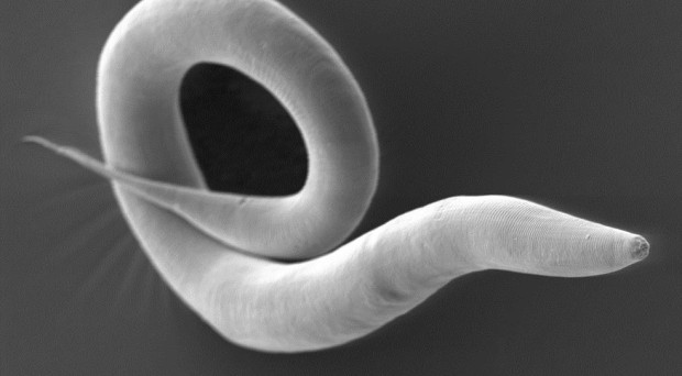 The worm Caenorhabditis elegans is a very well-studied model organism in biology