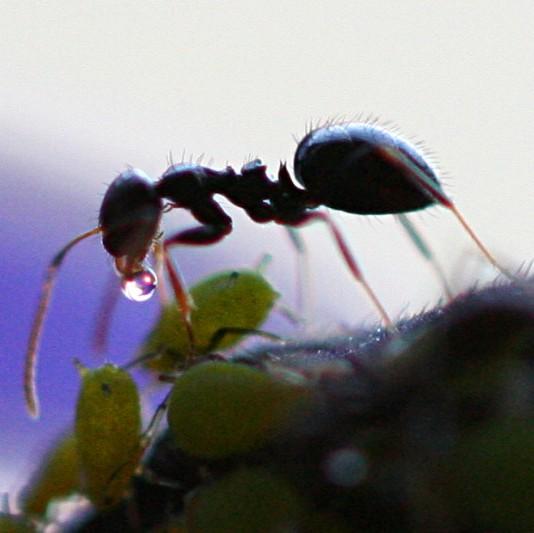 Self-medicating ant