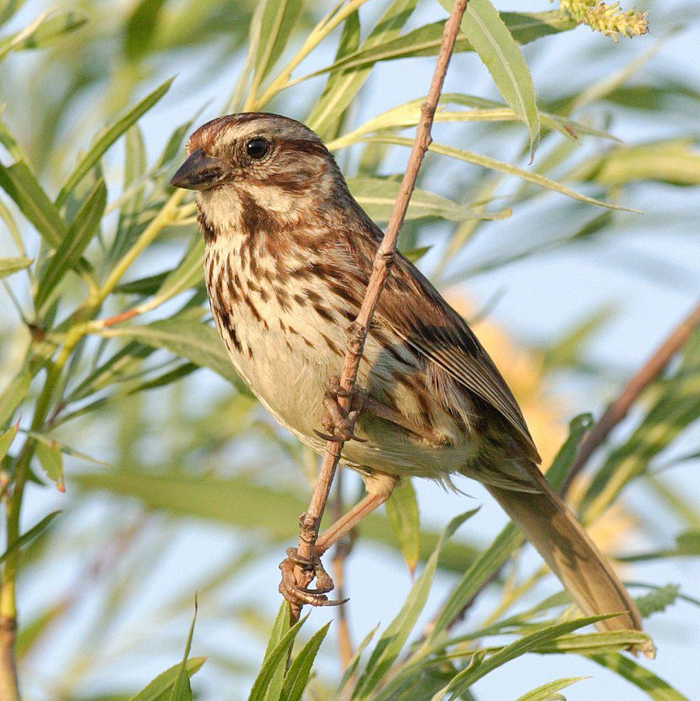 Song-sparrow