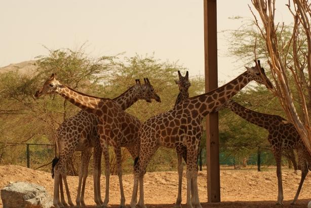 Giraffes in a zoo