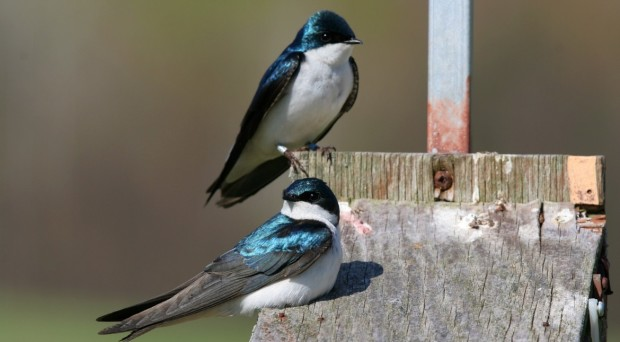 Tree swallows on a nestbox
