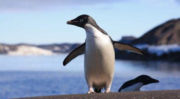 How has climate change affected the Adélie penguin?