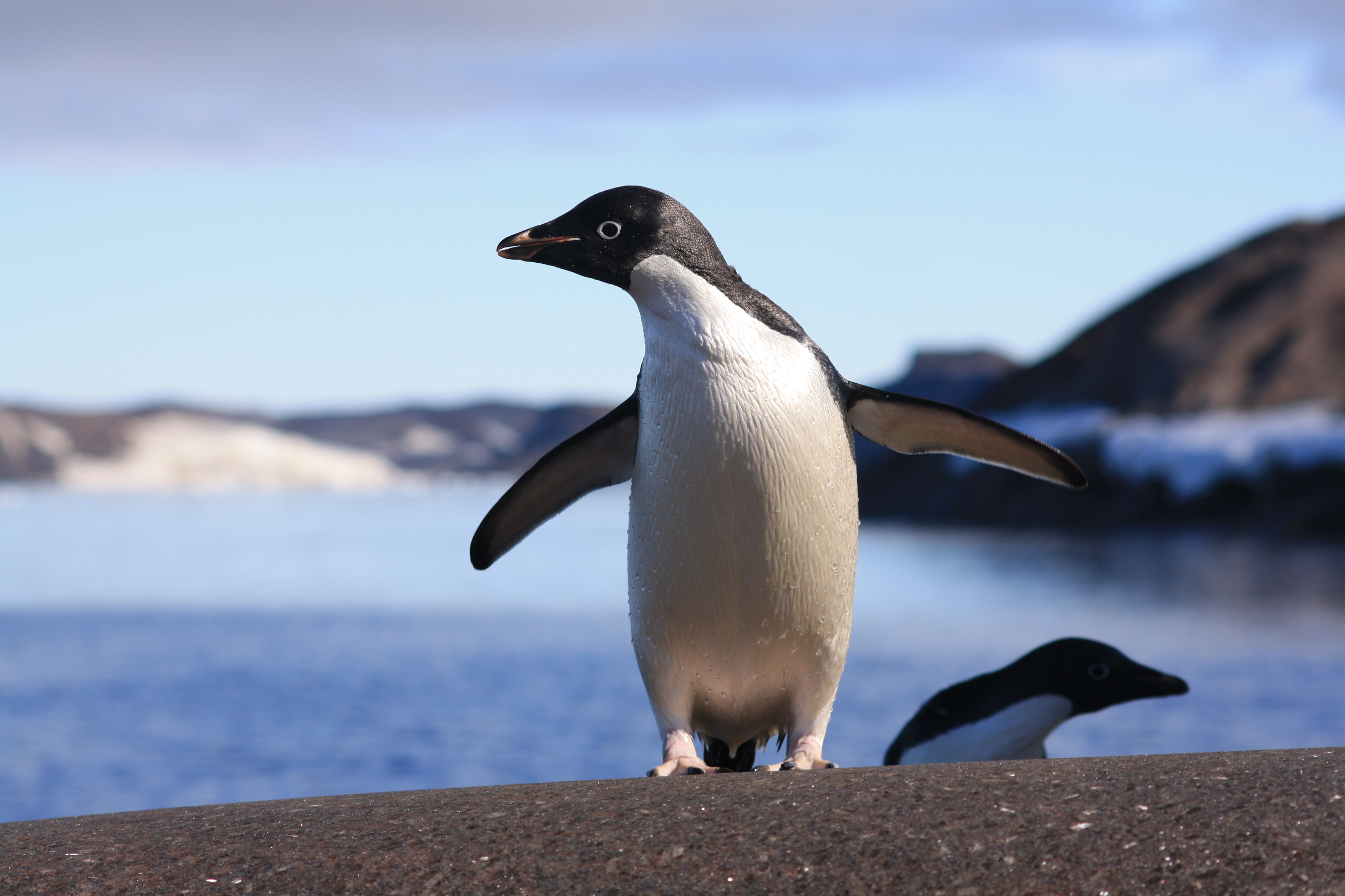 How has climate change affected the Adélie penguin?