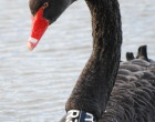 Swan_2011_AP (608) (2)