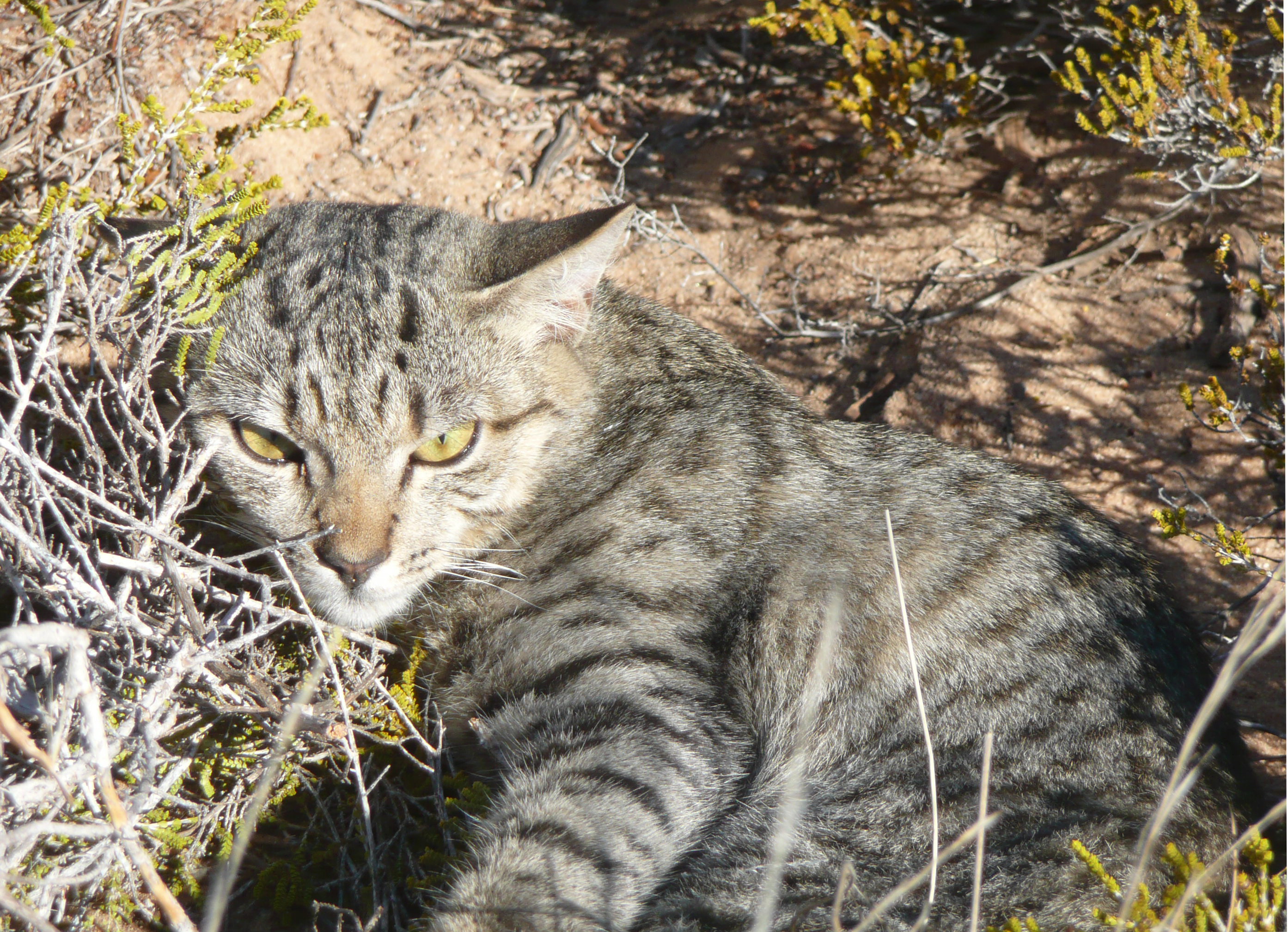 Did European settlers bring cats over with them to Australia?