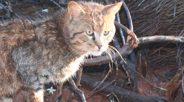 Analysing the genetic structure and diversity of feral cats in Australia