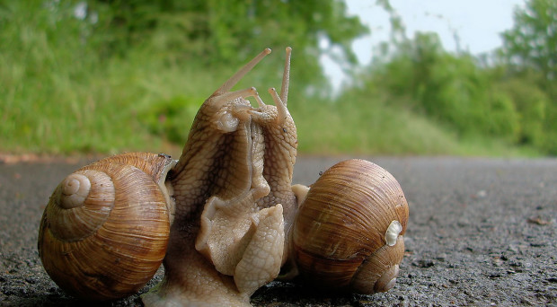 Courtship in the edible snail, Helix pomatia