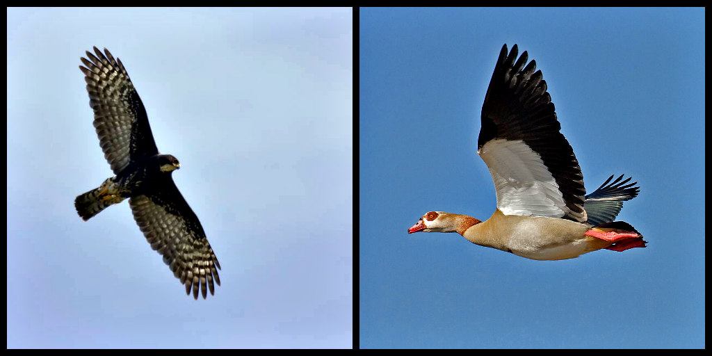 Black sparrowhawk and Egyptian goose in flight