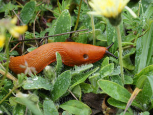 The red slug, Arion rufus, one of the species used in the study.