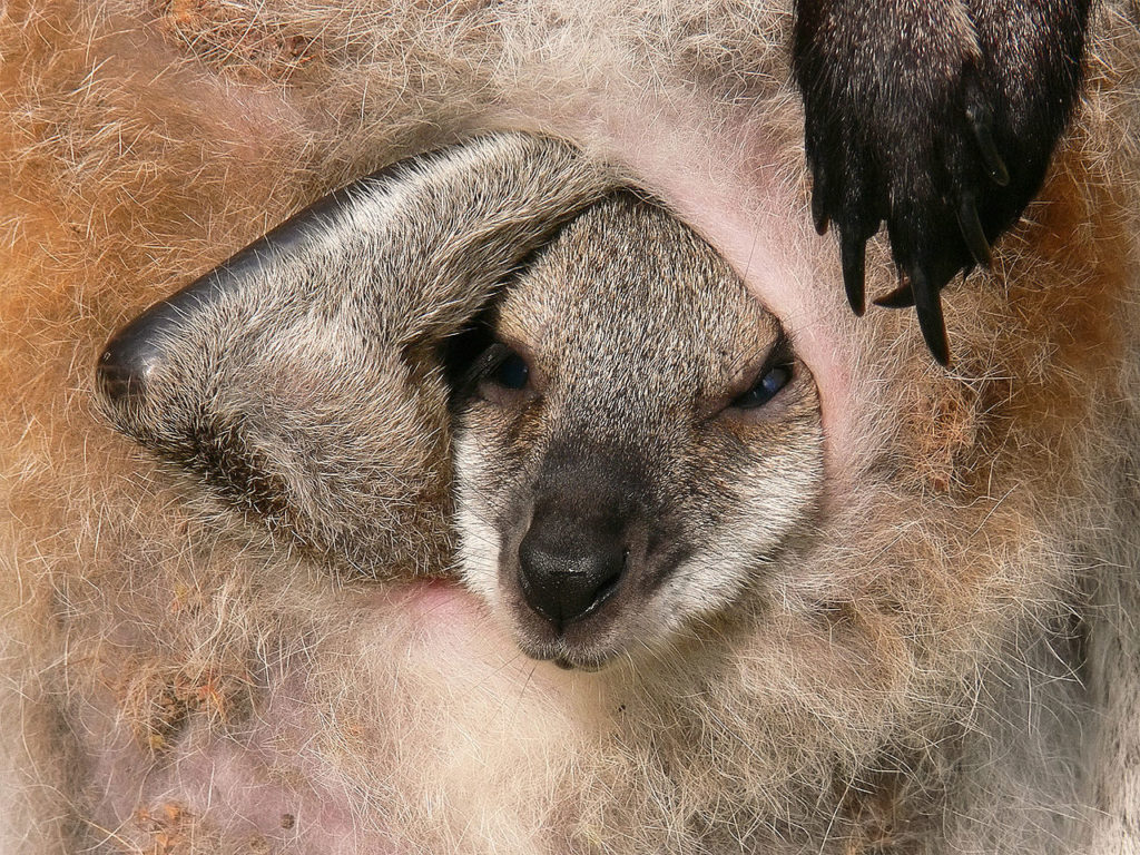 A wallaby young peers out of its mother's pouch.