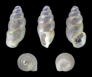 Shells of the long-toothed herald snail, Carychium tridentatum, another of the species used in the study.