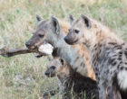 Spotted hyenas, photo by M.B. Fenton.