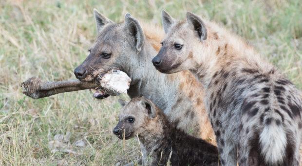 Spotted hyenas, photo by M.B. Fenton.