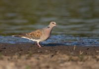 turtle-dove_sturtur_by-victor-vasilev
