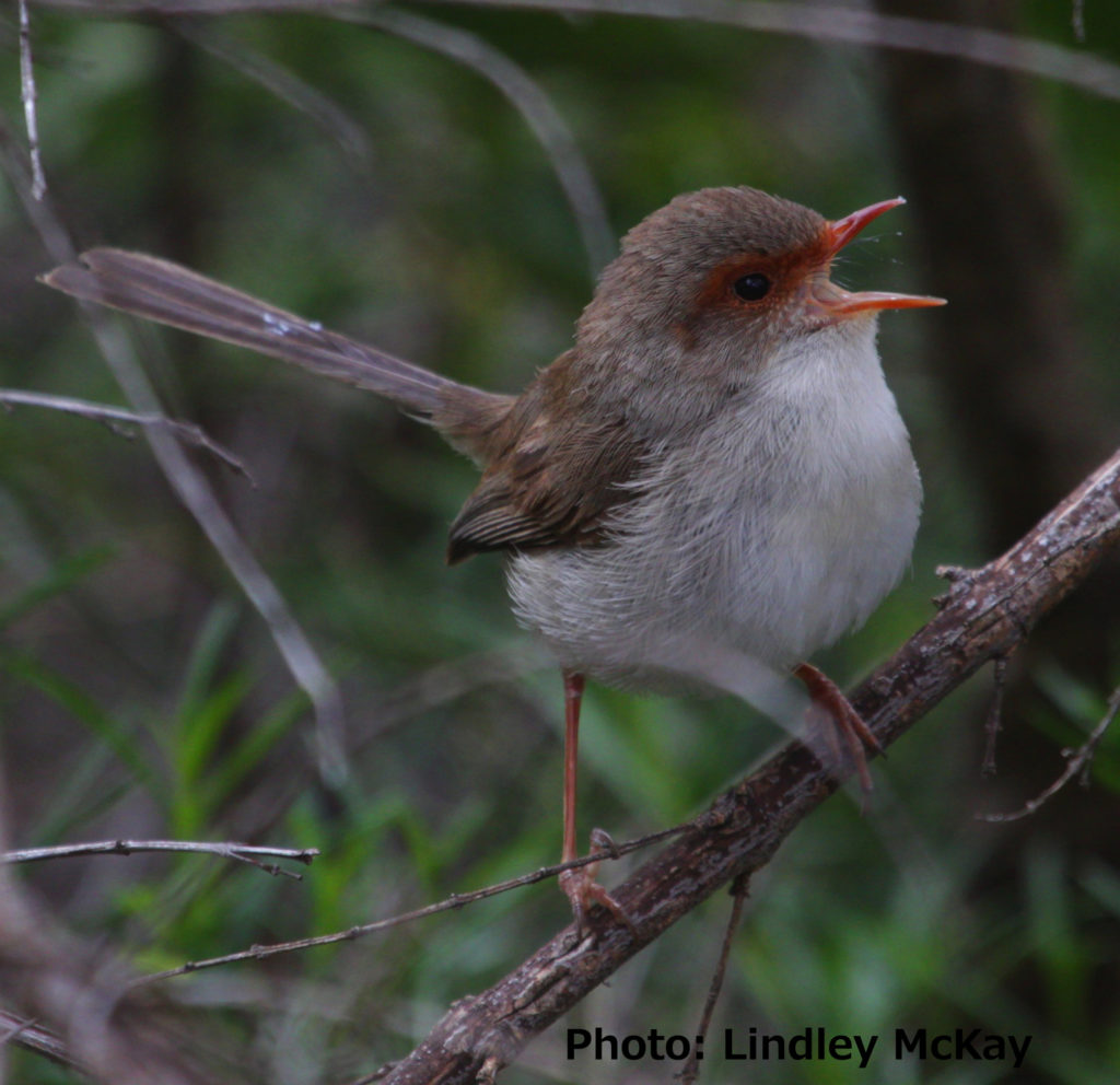 Female superb fairy-wren singing