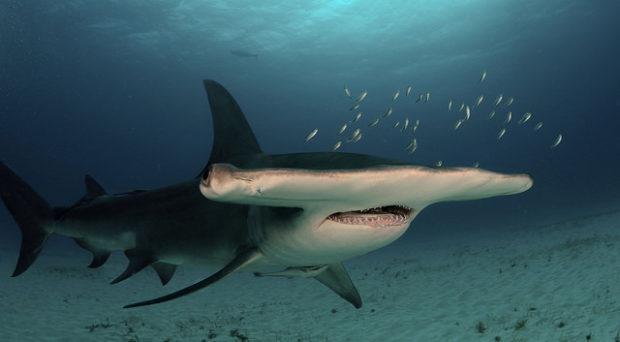 Great hammerhead shark (Albert kok, Wikimedia commons, CC)
