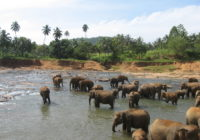 Elephants at PEO