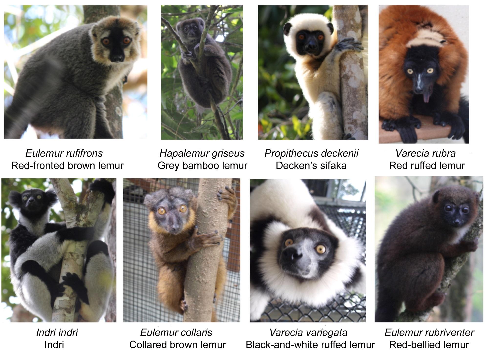 Lemur fig 1