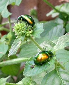 Mint leaf beetles