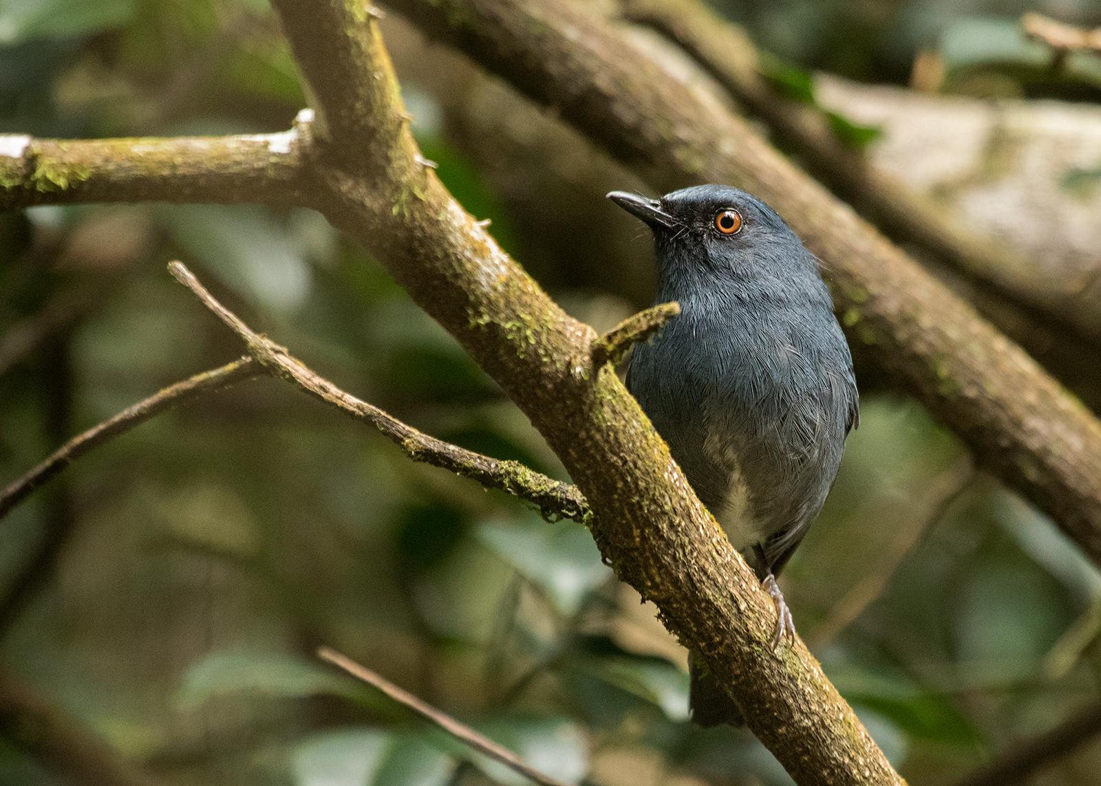 Sholicola ashambuensis