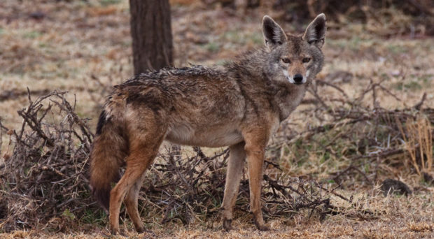African wolf photographed at Lake Abiata in Southern Ethiopia