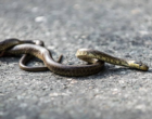 Zamenis_longissimus_Aesculapian_snake_user_cpratte_via roadkill.at