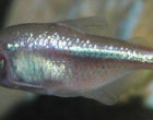Astyanax_fasciatus_(Mexican_blind_cavefish)_1_(15719439215)