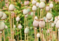 poppy-1540284_960_720