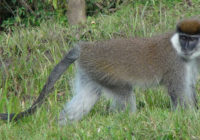 Fig 3 Bale monkey at Kokosa forest fragment (FF) Photo_Addisu Mekonnen