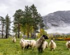 Sheep Norway