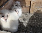 Owl chicks in a nest box CONAF
