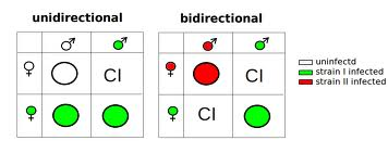 Cytoplasmic incompatibility Unidirectional CI: Mating of infected males and uninfected females results in CI. All other crosses are compatible. Bidirectional CI: Mating of males infected with Wolbachia strain I and females infected by Wolbachia strain II (and vice versa) results in CI. Image from commons.wikimedia