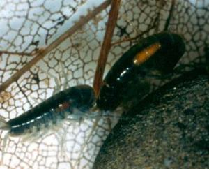 Pomphorhynchus laevis cystacanths in Gammarus pulex. Image from the Hurd lab,