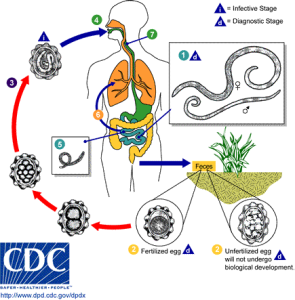 Ascariasis_LifeCycle_-_CDC_Division_of_Parasitic_Diseases
