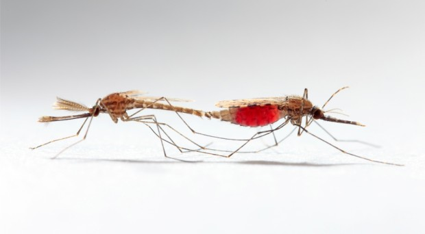 1.	 Anopheles gambiae during mating: Sam-Cotton, source www.scienceupdate.com