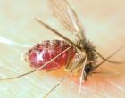 600px-Lutzomyia_longipalpis-sandfly