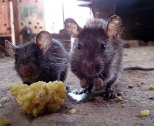 Rodents, the vector for Lassa fever