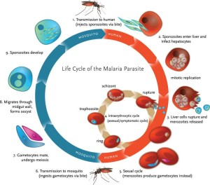 Malaria lifecycle. Image from Klein 2013