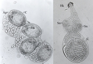 Cysticercoid larvae of the tapeworm Anomotaenia brevis. From http://www.myrmecofourmis.fr/Le-tenia-qui-rend-les-fourmis