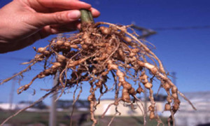 Root-knot nematode galls on plant roots. Source: commons wikimedia