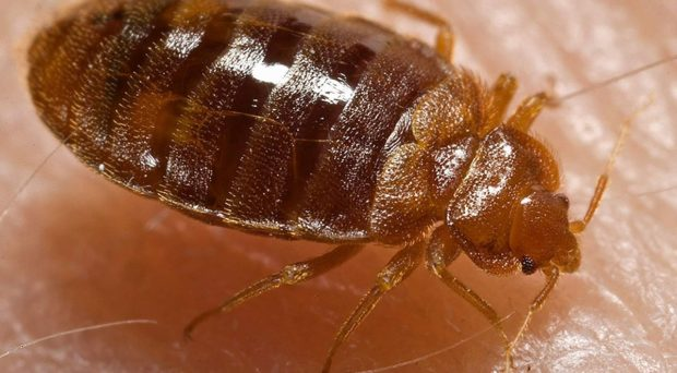 Common bed bug Cimex lectularius